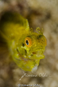 Secretary Blenny feeding by Ximena Olds 